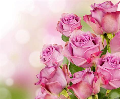 imagenes impresionantes de rosas fondos de pantalla rosas en gran plano rosa color flores