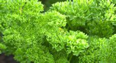 Plant De Persil by Jardin D Aromates Aromatiques Jardin En Carr 233 S Plant