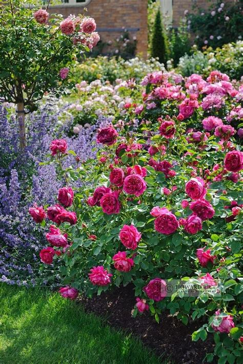 rose garden themes ideas about roses garden flowers also cute rose pictures