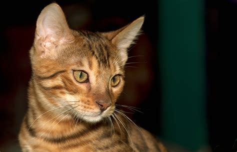16 Abyssinian Cat Pictures In Hd