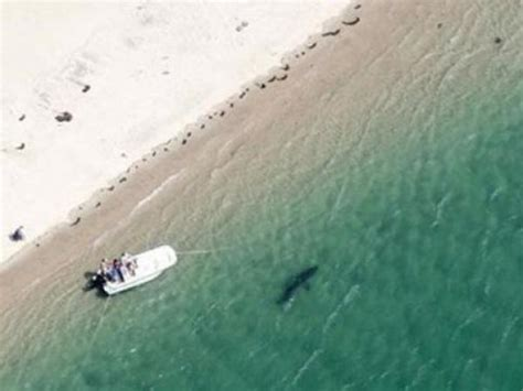 chatham cape cod sharks app alerts boaters to great white shark on cape cod