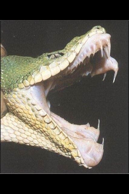 snake bites python for pentesters why does python snake bite quora