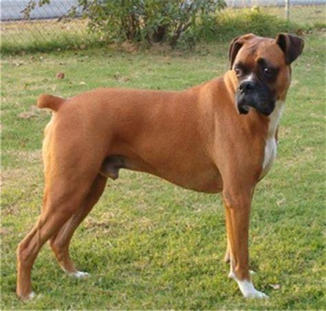 boxer puppies breeders boxer puppies breeders boxers