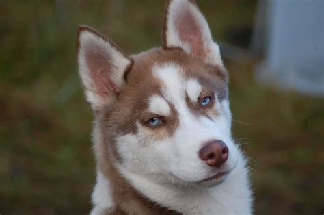 brown husky puppy brown husky puppies wallpaper