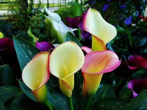 imagenes de flores calas fotos de flores cartuchos calas ŧl гєร pinterest