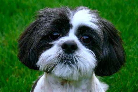 shih tzu temperamento shih tzu caracteristicas y caracter de este mini razas de perros