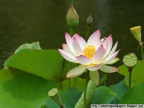 Lotus Wallpaper Lotus Flower Desktop Wallpapers A Desktop Wallpapers