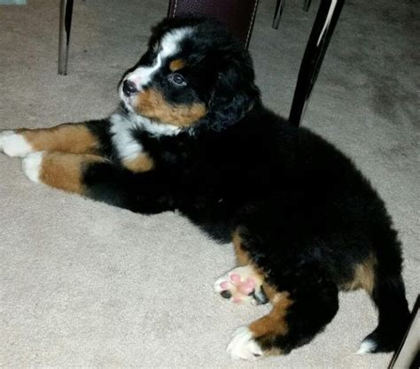 bernese mountain for sale and bernese mountain for sale washington tyne and wear pets4homes