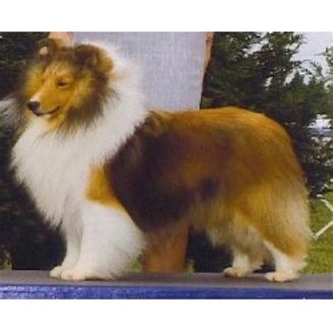 sheepdog puppies ohio shetland sheepdog sheltie breeders in ohio freedoglistings