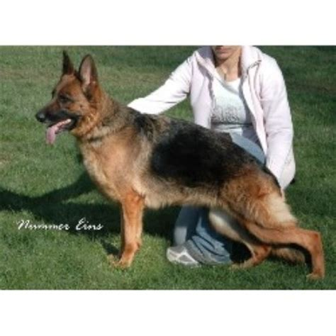 german shepherd puppies for sale in los angeles german shepherd husky mix puppies for sale los angeles breeds picture