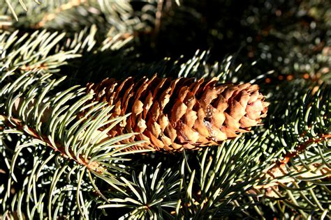 pine cone tree cone on tree free high resolution photo dimensions 3888