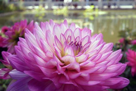 mooie bloemen afbeeldingen gratis afbeeldingen bloemen chrysant macro floriade