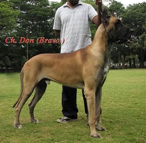 great dane mastiff mix puppies great dane bullmastiff mix musings of a biologist and lover guess the genotype