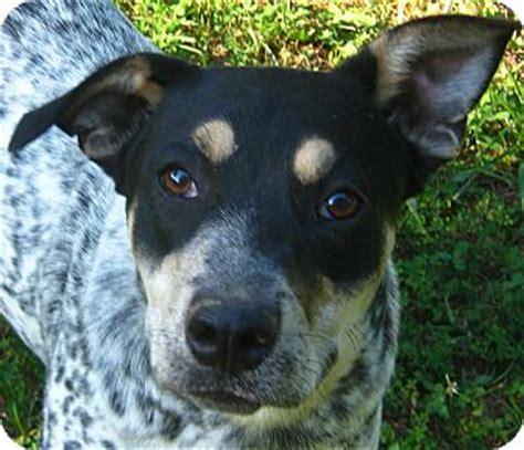 blue tick hound golden retriever mix blue tick hound lab australian shepherd mix puppies