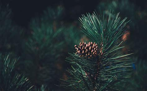 pine  wallpapers   desktop  mobile screen