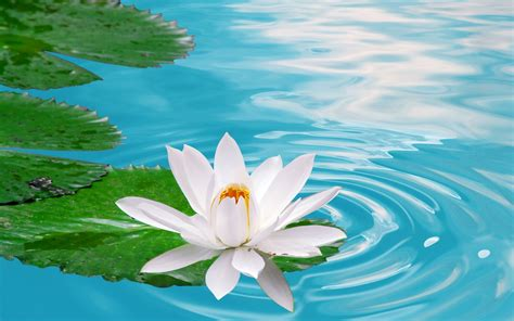 wallpaper 3d lotus lotus flowers wallpapers hd pictures one hd wallpaper