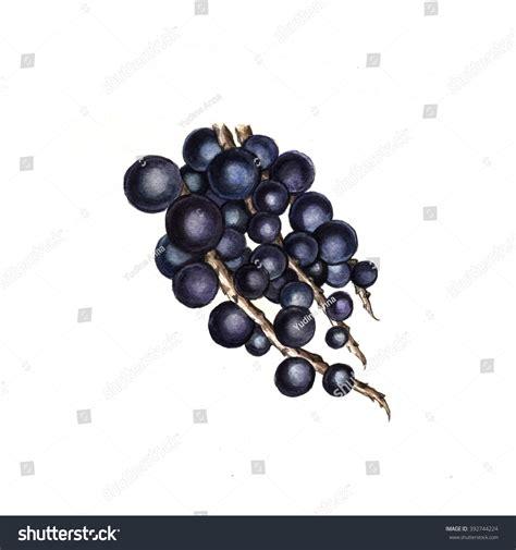Acai Berry Original watercolor acai berry original watercolor painting