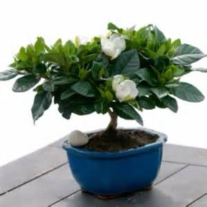 Gardenia Pine Tree 1000 Images About Bonsai Trees And Other Green Things