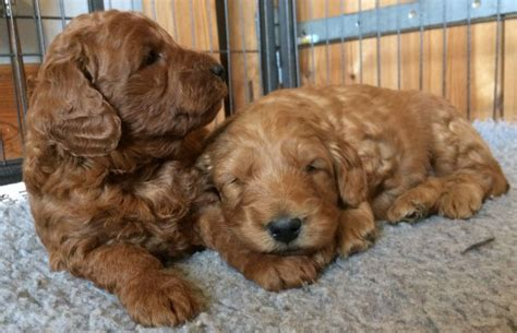 mini goldendoodles uk breeders f1b miniature medium goldendoodles sandwich kent