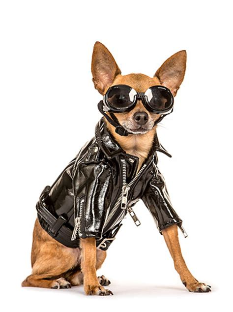 leather jacket for dogs chihuahua animal stock photos kimballstock
