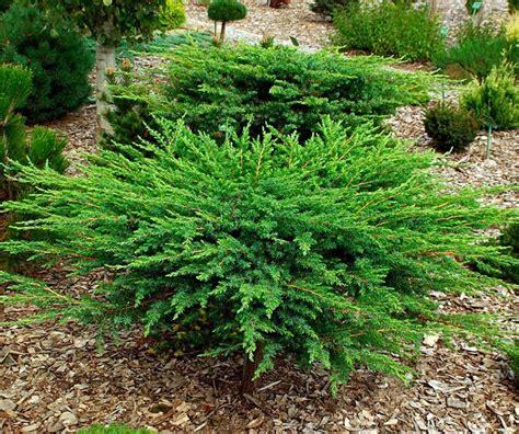 conifere nane da giardino juniperus conferta schlager ginepro conifere nane e