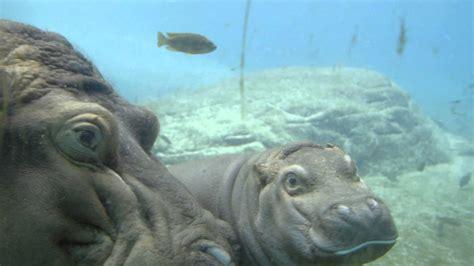 Baby Wear Hippo Swim baby hippo take a swim