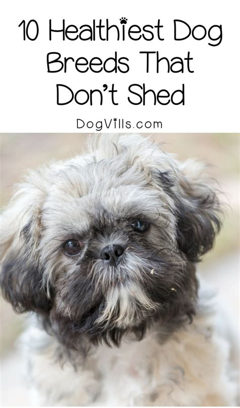 puppies that don t shed 10 healthiest breeds that don t shed dogvills