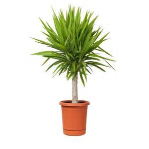 best indoor plants 18 best large indoor plants tall houseplants for home and offices balcony garden web