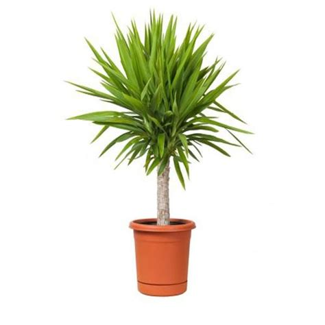 best indoor house plant large house plants www pixshark com images galleries