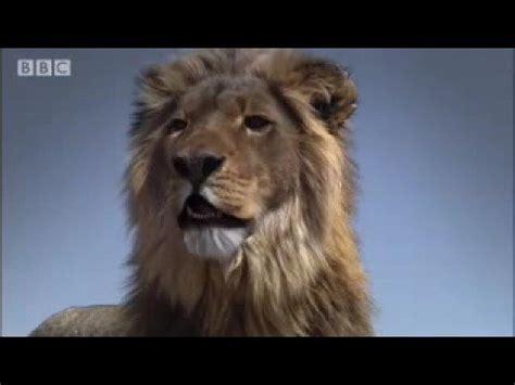 lion film pride image gallery lion pride movie