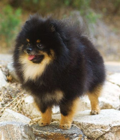 black and pomeranians my gorgeous chion onyx black and pomeranian puppy pom pom black