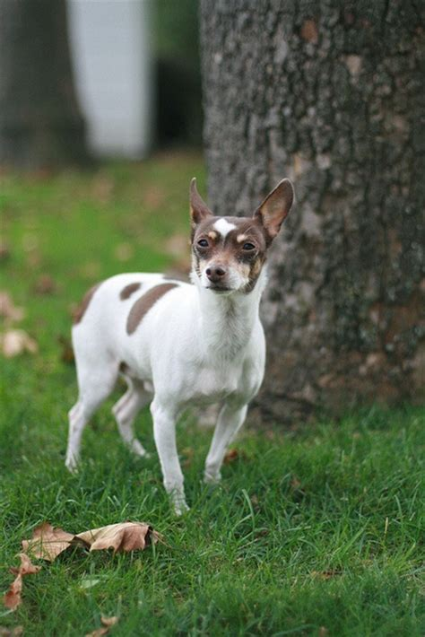 Rat Terrier Shedding by 242 Best Images About Rat Terriers On