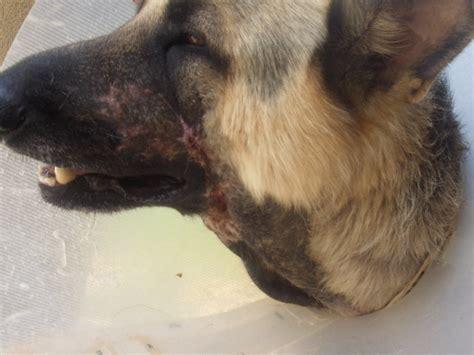 snake bites on dogs rattlesnake bite