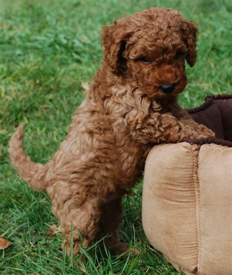 mini labradoodles for sale in ohio 17 best images about i want a puppy on