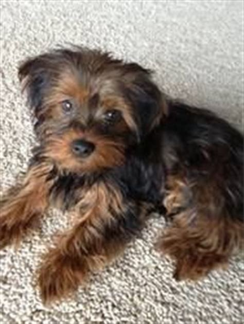 shih tzu rescue omaha 8 best i my shorkie images on animals beautiful dogs and shih tzu