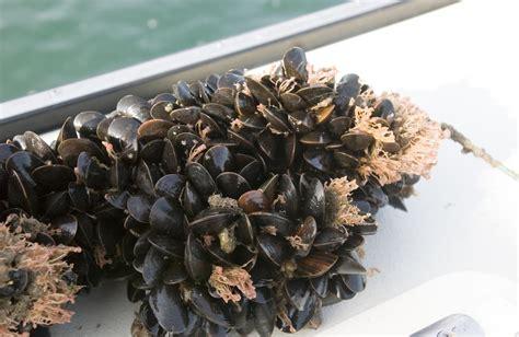 Calendar Island Mussels Researchers Find Blue Mussels Flourish In Island