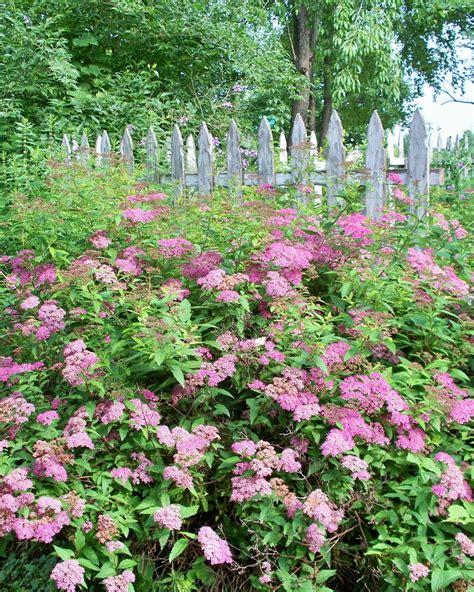 garden flowering shrubs garden pink spirea shrub