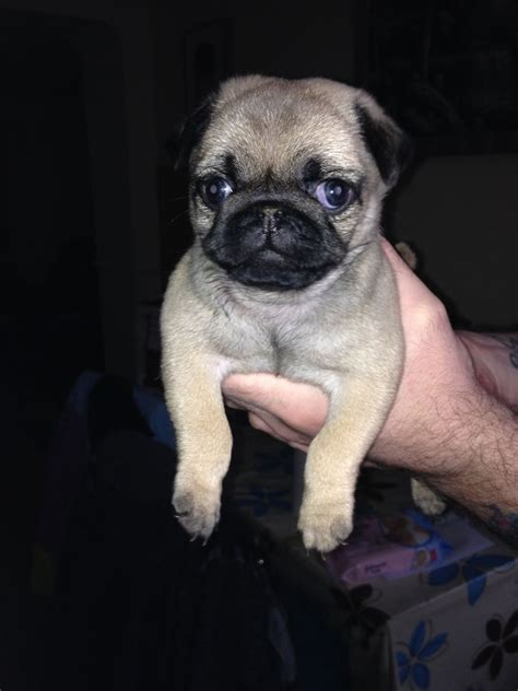 pug puppies for sale in swansea pug puppies for sale pups swansea swansea pets4homes