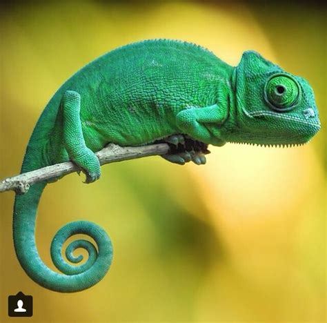 35 best chameleon for sculpting reference images on