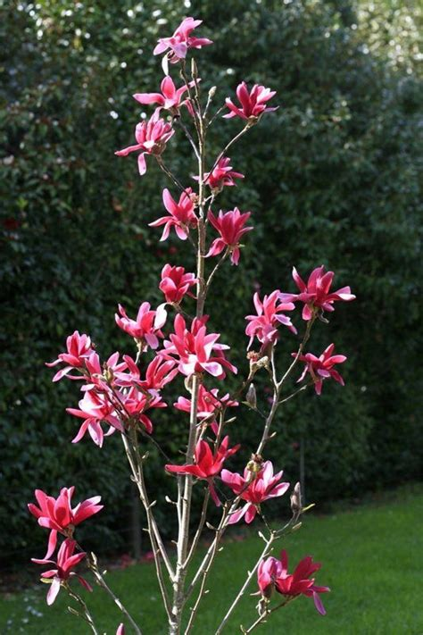 burgundy star magnolia is a narrow upright tree and perfect for small space gardens jury