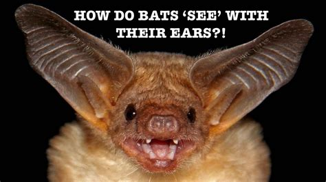 how do bats see with their ears spark 12 youtube
