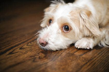 puppy separation anxiety solutions treating separation anxiety in dogs and puppies