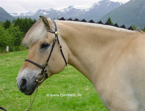 fjord mane designs stemming from western norway the fjord horse is unique