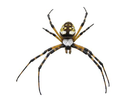 Build A House Estimate by Common Garden Spiders Pest Control Facts Amp Information