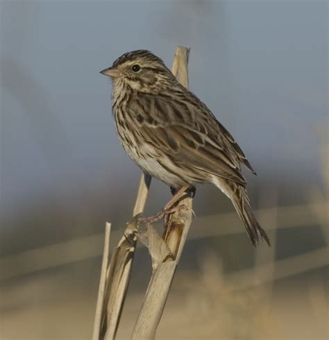 sw louisiana birds savannah sparrow