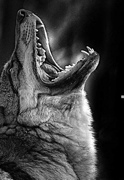 Instan Wolvis 17 best images about wolves on white spirit