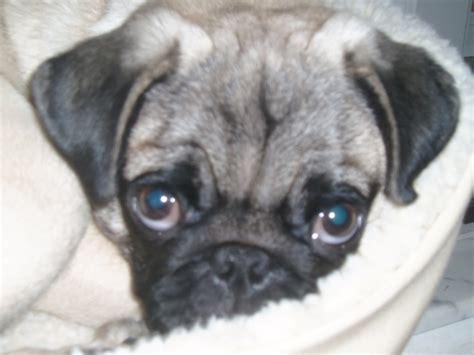 pug price range availablepuppies