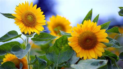 imagenes de flores de girasol flores de girasol fondos de pantalla hd wallpapers hd