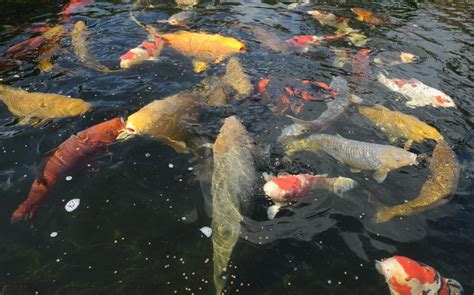 Lukisan Koi Big Myy 16 businessman attacks two after catching them in his koi carp pond