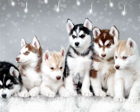 what is a pomsky puppy what is a pomsky pomsky puppies for sale links